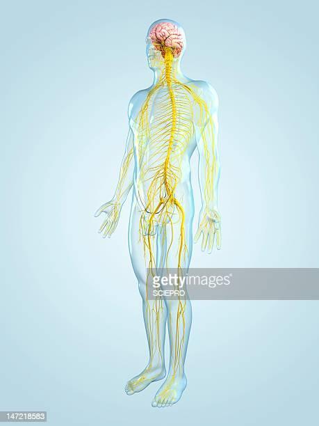 ilustrações de stock, clip art, desenhos animados e ícones de nervous system, artwork - sistema nervoso central