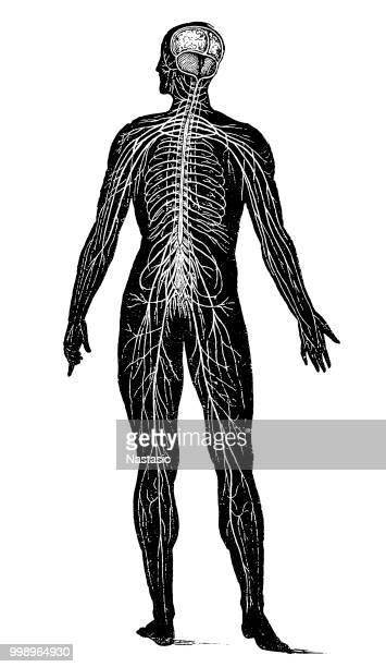 illustrations, cliparts, dessins animés et icônes de système nerveux - corps humain