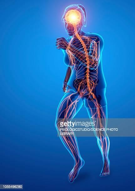ilustrações de stock, clip art, desenhos animados e ícones de nervous system, illustration - sistema nervoso central