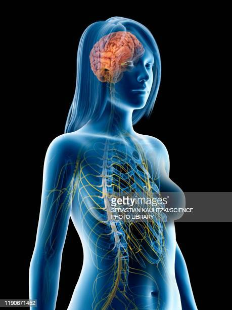 nervous system, illustration - transparent stock illustrations