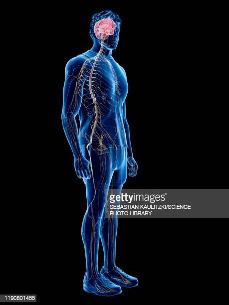 nervous system, illustration - order stock illustrations