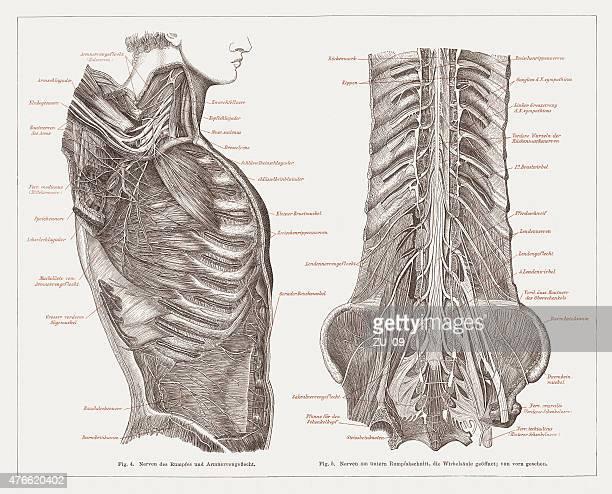 ilustrações de stock, clip art, desenhos animados e ícones de doenças do sistema nervoso de seres humanos, publicada em 1877 - sistema nervoso central
