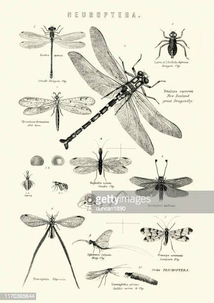 neuroptera, or net-winged insects, dragonfly, snake fly, scorpion fly - graphic print stock illustrations