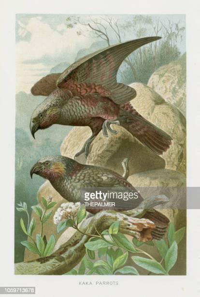 ilustrações, clipart, desenhos animados e ícones de nova zelândia papagaios chromolithograph 1896 - zoologia