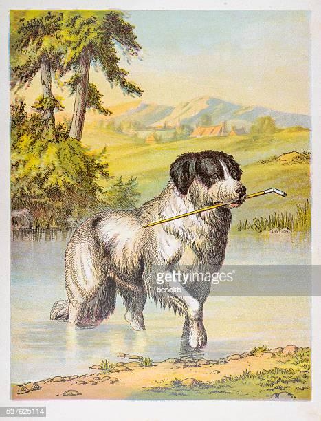 Newfoundland Dog in pond