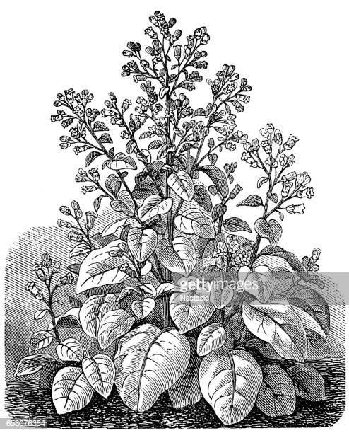 nicotiana rustica (syrian tobacco) - tobacco crop stock illustrations, clip art, cartoons, & icons