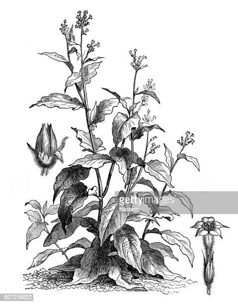 nicotiana tabacum (tobacco) - tobacco crop stock illustrations, clip art, cartoons, & icons