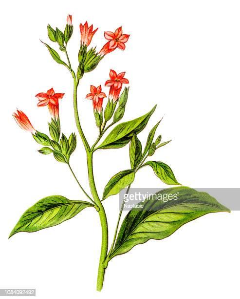 nicotiana tabacum, tobacco - tobacco crop stock illustrations, clip art, cartoons, & icons