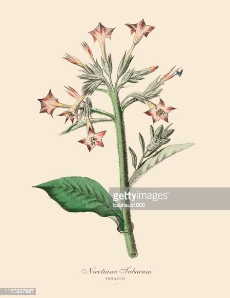 nicotiana tabacum, tobacco plants, victorian botanical illustration - tobacco crop stock illustrations, clip art, cartoons, & icons