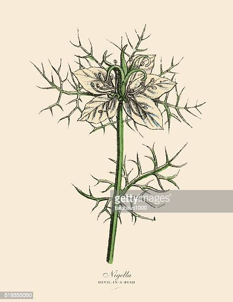 nigella or devl-in-a-bush plants, victorian botanical illustration - sharp stock illustrations, clip art, cartoons, & icons