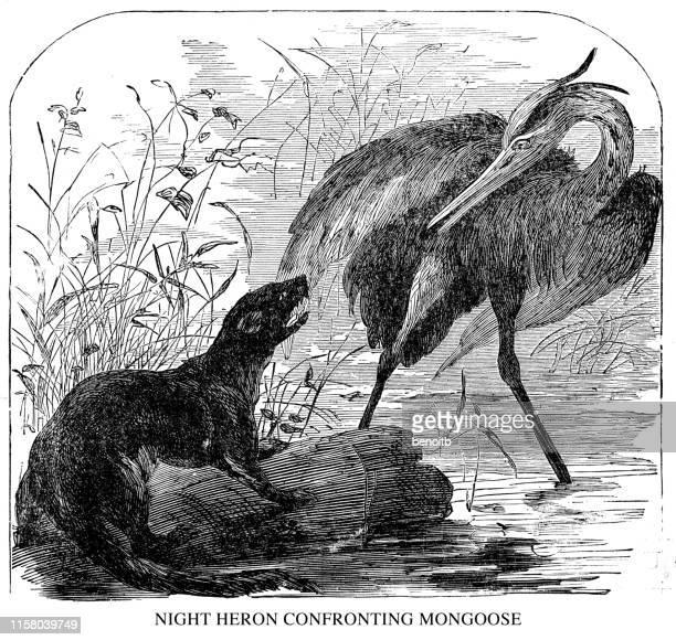 illustrazioni stock, clip art, cartoni animati e icone di tendenza di night heron confronting mongoose - mangusta