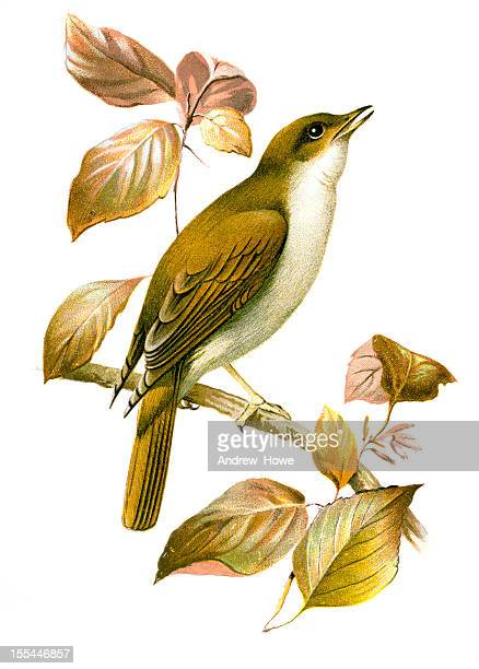 nightingale chromolithograph - lithograph stock illustrations