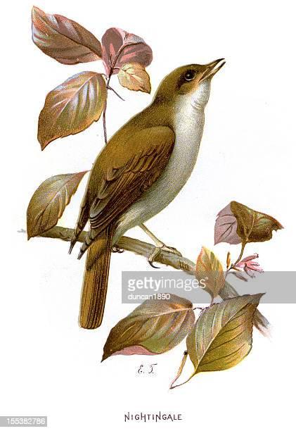ilustrações, clipart, desenhos animados e ícones de luscinia luscinia megarhynchos - zoologia