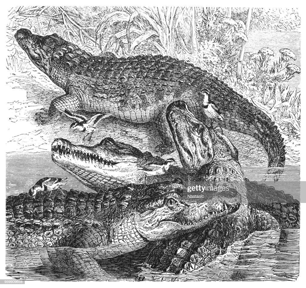Nilkrokodil (Crocodylus niloticus) : Stock-Illustration