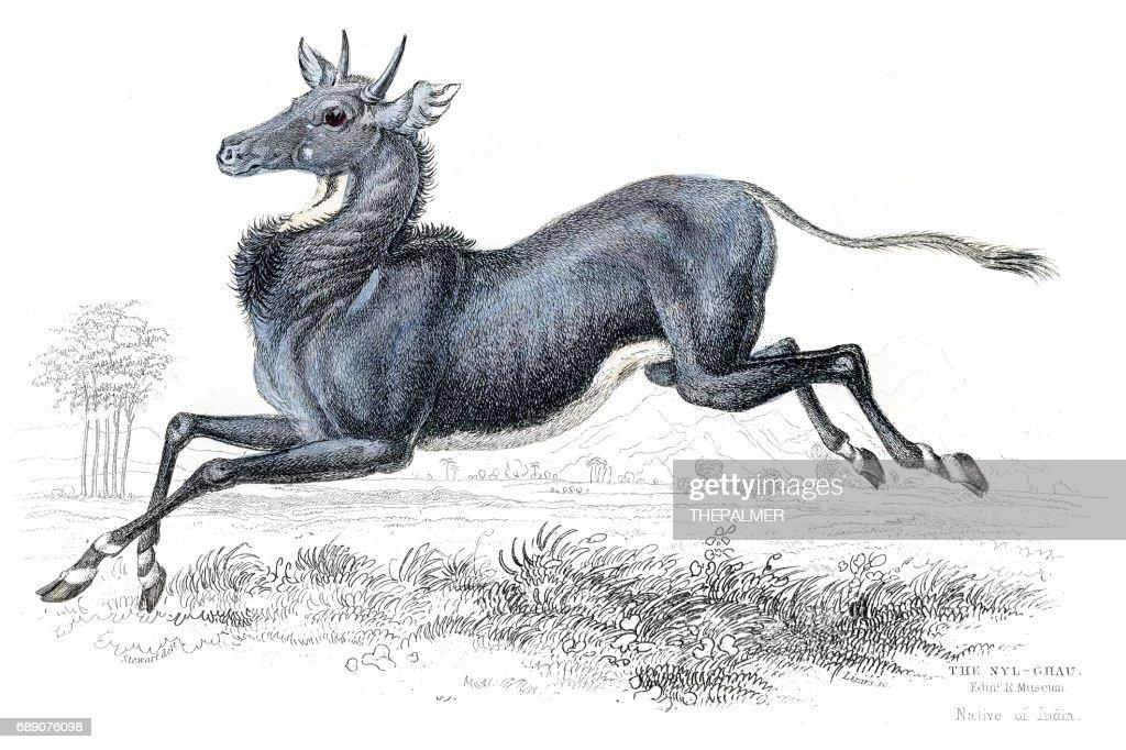 Nilgai antelope lithograph 1884 : Stock Illustration