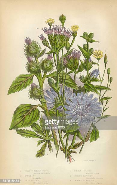 nipplewort, sunflower, chicory, burdock, thistle, daisy, saussurea, victorian botanical illustration - chicory stock illustrations, clip art, cartoons, & icons