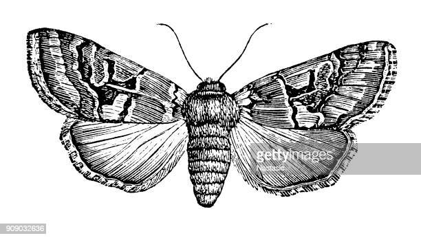 Noctua gothica moth