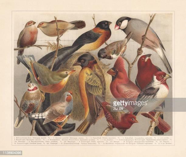 非ヨーロッパの鳴禽類、chromolithograph、1897 年に公開