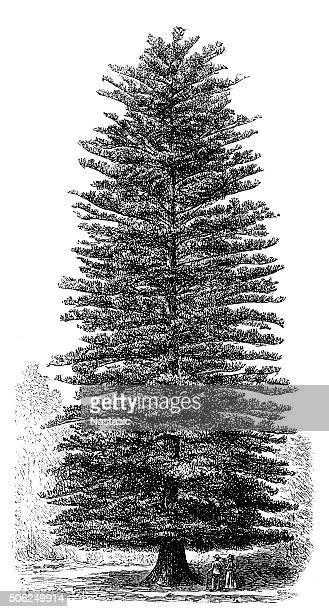 norfolk island pine (araucaria heterophylla) - pine wood material stock illustrations, clip art, cartoons, & icons