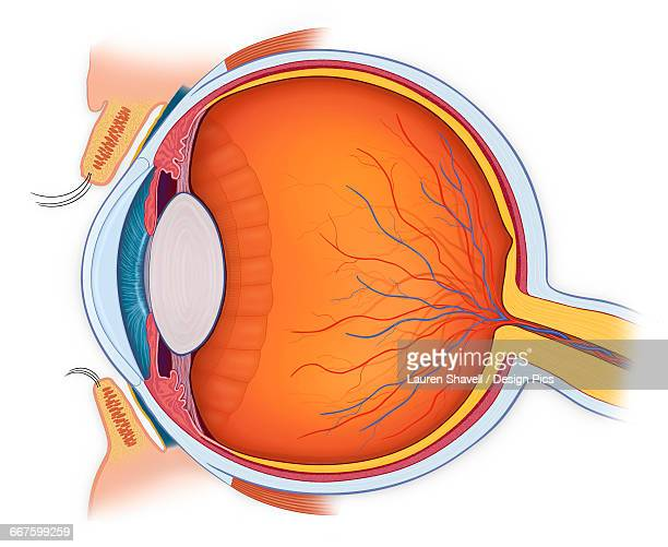 Normal anatomy of the eye in cross section