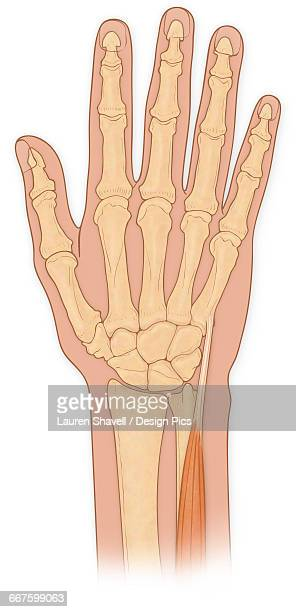 Normal anterior view normal hand bones with extensor carpi ulnaris muscle