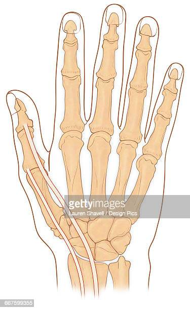 Normal anterior view of hand showing the anatomical snuff box