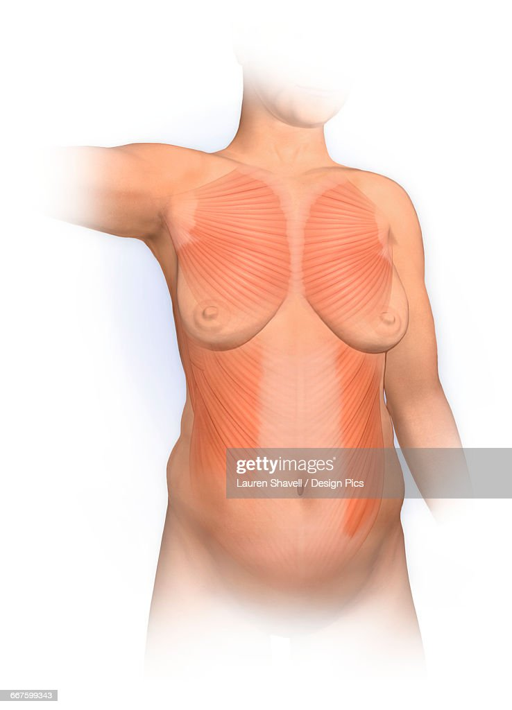 normal anterior view woman with pectoralis major, external oblique muscles  - stock illustration