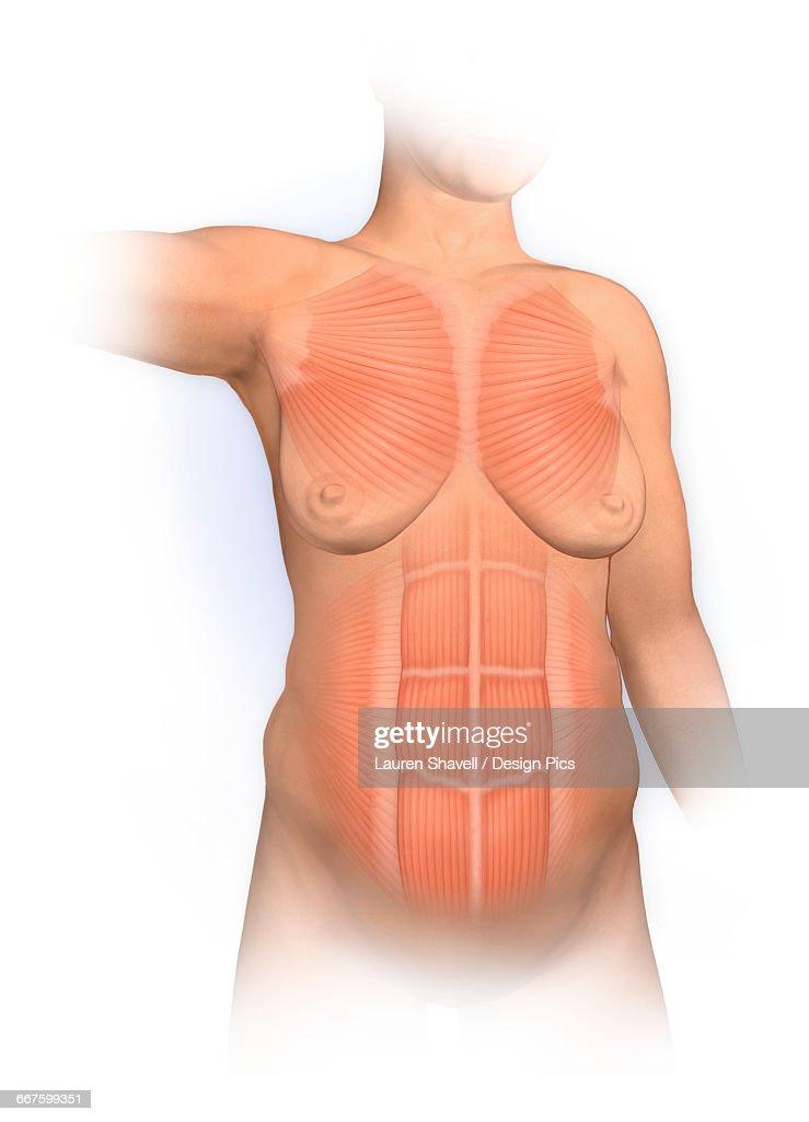 Ungewöhnlich Rectus Bilder - Anatomie und Physiologie des ...