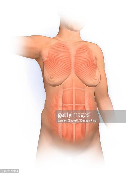 normal anterior view woman with pectoralis major, rectus abdominus, muscles - abdominal muscle stock illustrations, clip art, cartoons, & icons