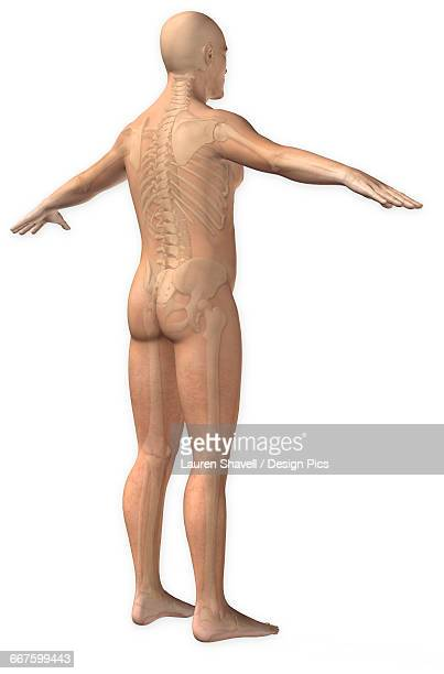Normal three quarter posterior view of a man with the full skeletal system