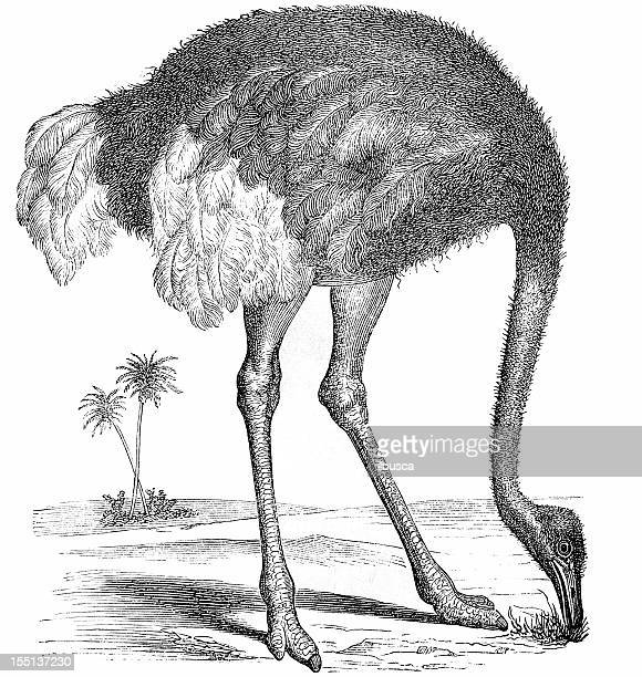 north african ostrich (struthio camelus) - ostrich stock illustrations, clip art, cartoons, & icons
