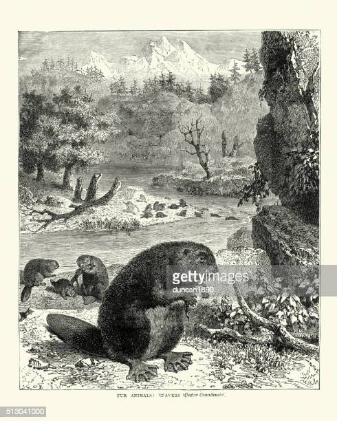 North American beaver (Castor canadensis), 19th Century