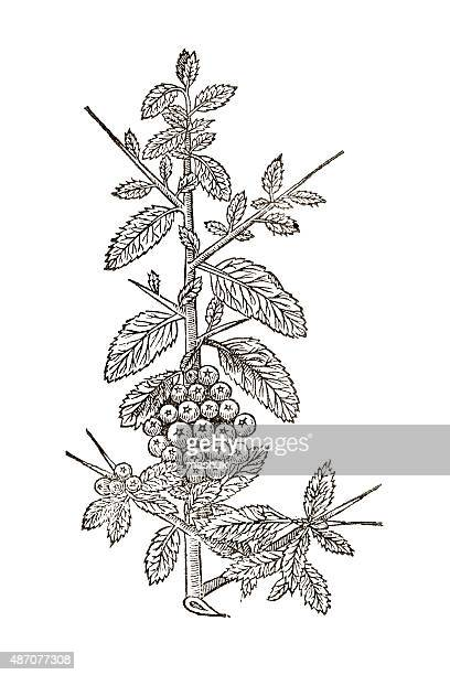 ilustrações, clipart, desenhos animados e ícones de hawthorn do norte da europa, do século 17 ilustração botânico - pilritreiro