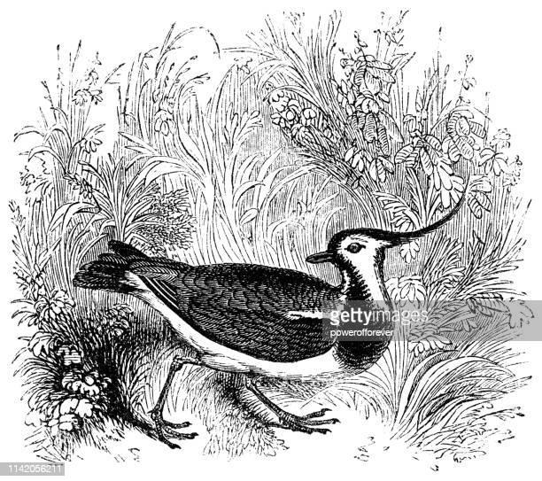 Northern Lapwing Bird - 19th Century