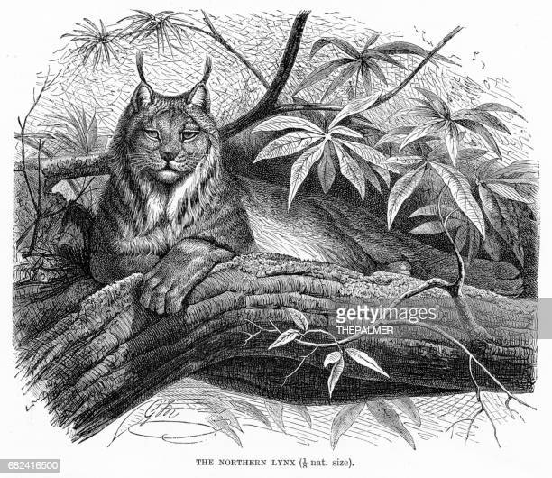 northern lynx engraving 1894 - lynx stock illustrations, clip art, cartoons, & icons