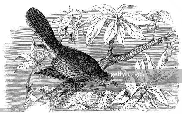 northern mockingbird (mimus polyglottos) - mockingbird stock illustrations, clip art, cartoons, & icons