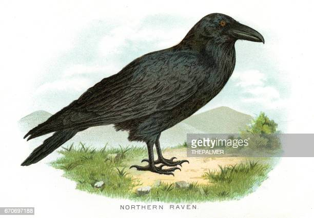 Northern raven bird lithograph 1897