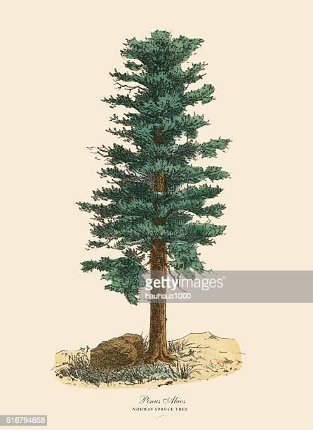 norway spruce pine tree or pinus abies, victorian botanical illustration - tree bark stock illustrations, clip art, cartoons, & icons
