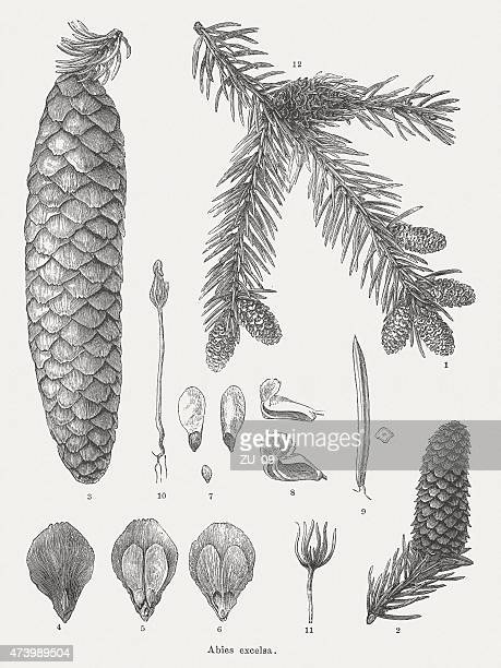 norway spruce (picea abies), wood engravings, published in 1875 - pine wood material stock illustrations, clip art, cartoons, & icons