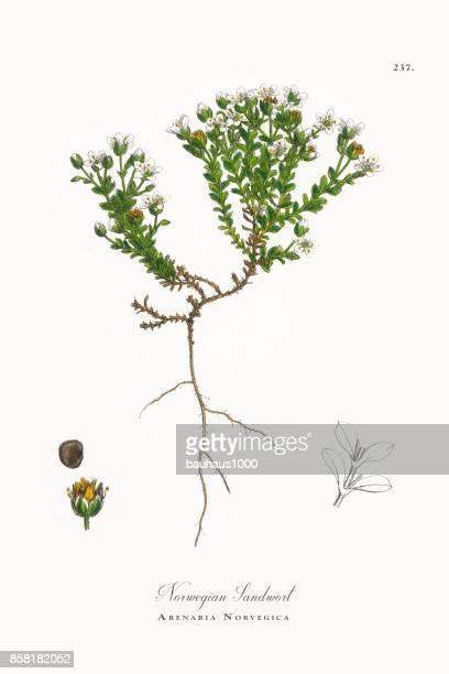 ilustrações, clipart, desenhos animados e ícones de norueguesa sandwort, arenaria norvegica, ilustração botânica vitoriana, 1863 - chickweed