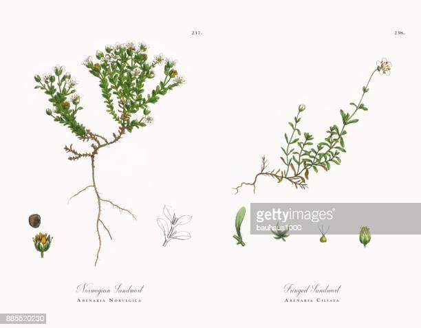 norwegian sandwort, arenaria norvegica, victorian botanical illustration, 1863 - sandwort stock illustrations, clip art, cartoons, & icons