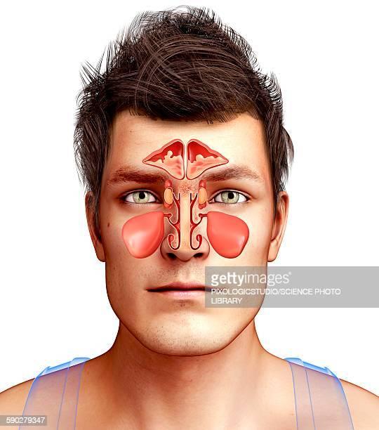 ilustrações, clipart, desenhos animados e ícones de nose anatomy, illustration - nariz