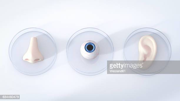 nose, eye and ear in petri dishes, 3d rendering - sensory perception stock illustrations