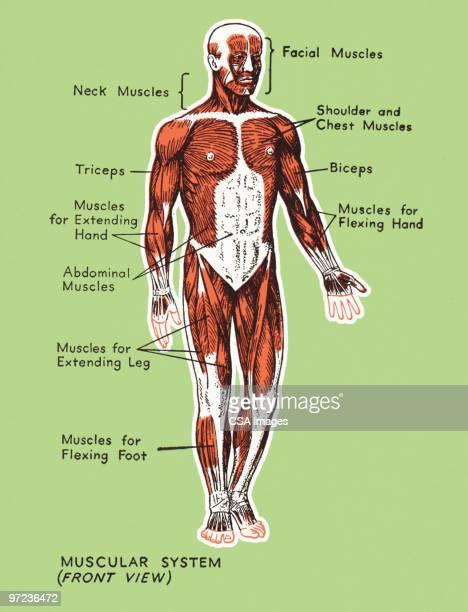 nurse - human muscle stock illustrations