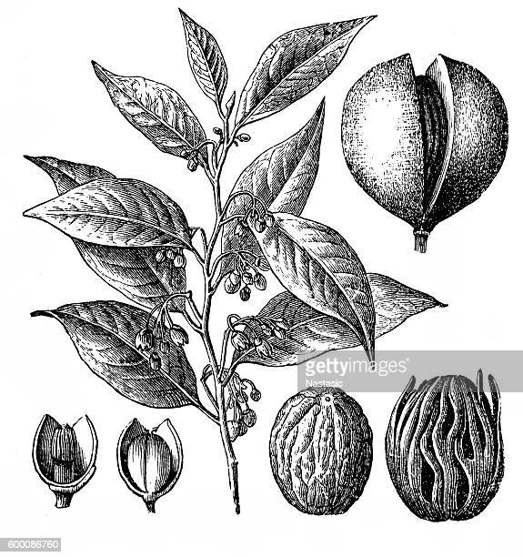nutmeg (myristica fragrans) - pepper vegetable stock illustrations
