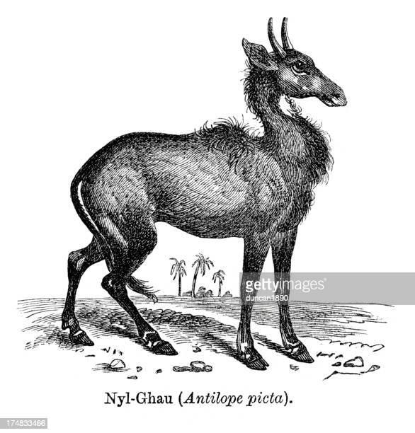 ilustraciones, imágenes clip art, dibujos animados e iconos de stock de antílope nylghau - animal vertebrado