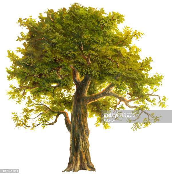 oak - deciduous tree stock illustrations, clip art, cartoons, & icons