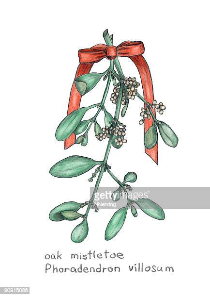 oak mistletoe, phoradendron villosum, botanical drawing in colored pencil - mistletoe stock illustrations, clip art, cartoons, & icons