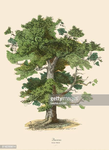 oak tree or quercus, victorian botanical illustration - close up stock illustrations