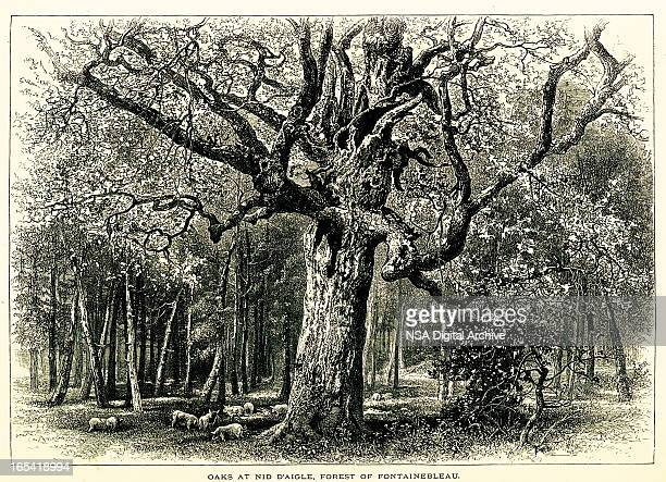 oaks at the forest of fontainebleau, france - champagne region stock illustrations, clip art, cartoons, & icons